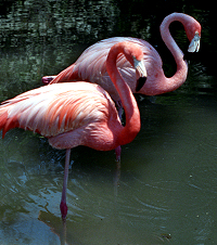 Flamingoes at rest, standing on one leg.