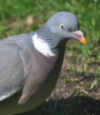 A wood pigeon on the grass
