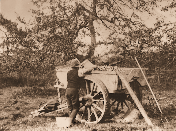 Man loading cart with apples